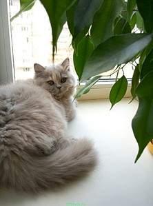 569 X 768 57.7 Kb Питомник британских кошек Cherry Berry's.