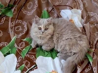 1024 X 758 128.6 Kb 569 X 768 47.7 Kb 569 X 768 57.7 Kb Питомник британских кошек Cherry Berry's.