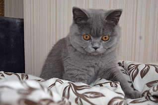 1920 X 1271 207.2 Kb Питомник британских кошек Cherry Berry's.