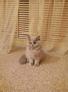 1244 X 1680 199.5 Kb Питомник британских кошек Cherry Berry's.