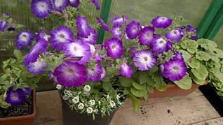 1920 X 1079 239.6 Kb Продам рассаду сортовых петуний и других однолеток из профессиональных семян.