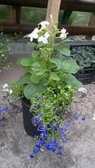 1920 X 3416 735.3 Kb 1920 X 3416 613.3 Kb Продам рассаду сортовых петуний и других однолеток из профессиональных семян.
