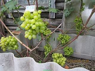 800 X 600 239.9 Kb Саженцы винограда. Продам.