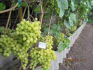 800 X 600 245.5 Kb 800 X 600 266.2 Kb Саженцы винограда. Продам.