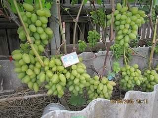 800 X 600 238.7 Kb 800 X 600 245.5 Kb 800 X 600 266.2 Kb Саженцы винограда. Продам.