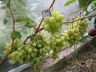 800 X 600 253.7 Kb Саженцы винограда. Продам.