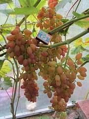 600 X 800 252.6 Kb 800 X 600 253.7 Kb Саженцы винограда. Продам.
