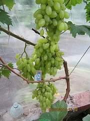 600 X 800 208.6 Kb 600 X 800 252.6 Kb 800 X 600 253.7 Kb Саженцы винограда. Продам.