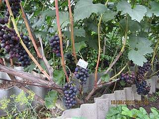 800 X 600 271.6 Kb 600 X 800 208.6 Kb 600 X 800 252.6 Kb 800 X 600 253.7 Kb Саженцы винограда. Продам.