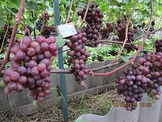 800 X 600 277.2 Kb 800 X 600 271.6 Kb 600 X 800 208.6 Kb 600 X 800 252.6 Kb 800 X 600 253.7 Kb Саженцы винограда. Продам.