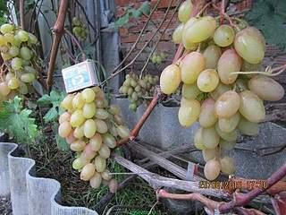 800 X 600 233.2 Kb 800 X 600 183.1 Kb Саженцы винограда. Продам.