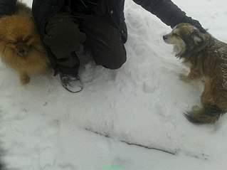 807 X 605 55.8 Kb маленькая собака в квартиру, яркая личность Флаффи Лев Мустангович