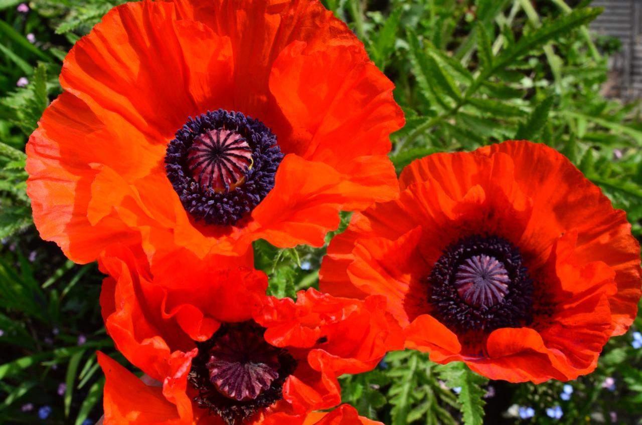 добавьте картинки цветка мак садовый возмущение