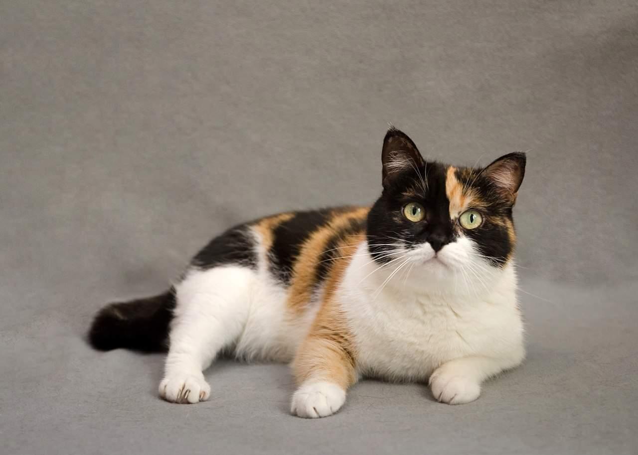 фото трехцветных британских котят