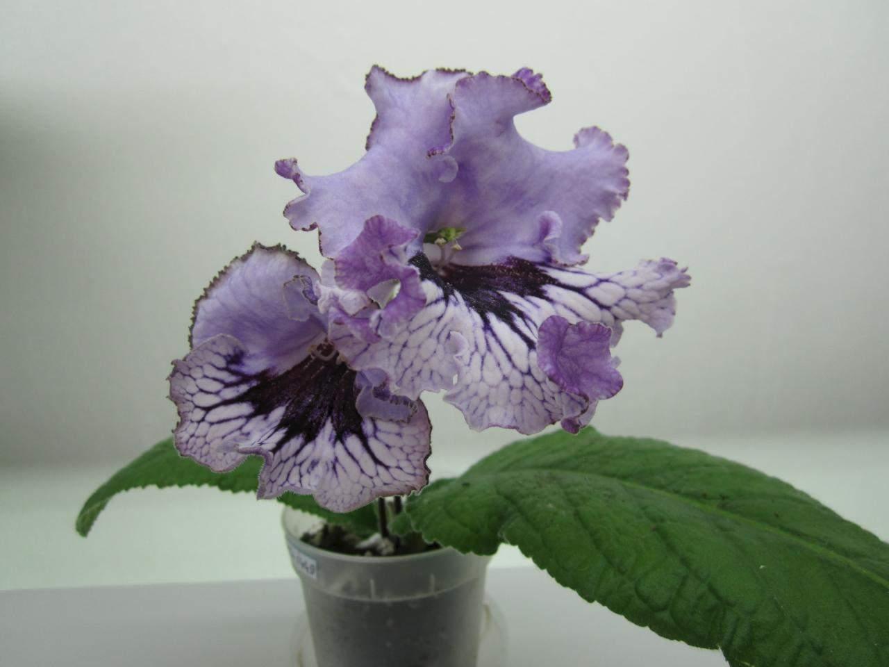 маори стрептокарпус фиолетовый фото здоровье ваше будет