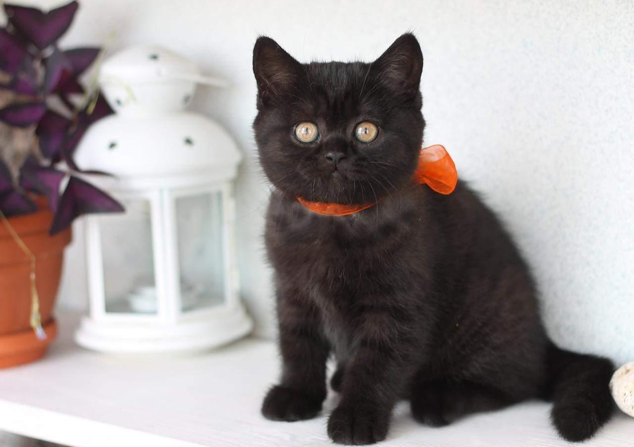 внимательно изучать британец черный котенок фото фото родных встретишь